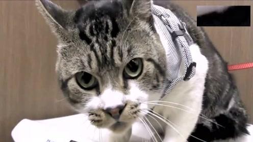 平时软萌的猫主子,一到医院就凶相毕露,像个小怪兽