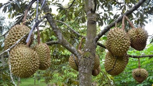 榴莲树单产过千,那为什么榴莲还卖那么贵?看完终于明白了