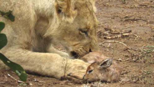 狮子在咬向母鹿时却突然住了嘴,接下来的行为十分感人