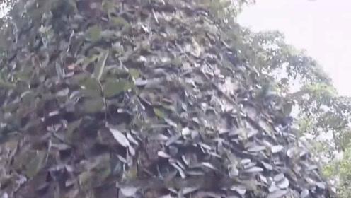 老人院落里发现千年金丝楠木估价2.8亿亿多 连树叶都价值连城