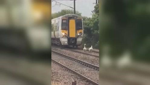 天鹅大摇大摆沿着铁轨散步 火车被迫跟后面龟速爬行半小时