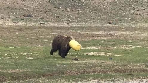 """棕熊觅食头部被卡塑料桶 玉树警方周旋4小时帮其摘""""头套"""""""