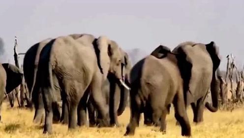 大象遭狮群围攻猎杀 大象:下次别再让我碰到你
