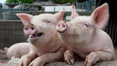 猪又懒又笨,为什么还能活4千万年不灭绝?说出来你都不信!