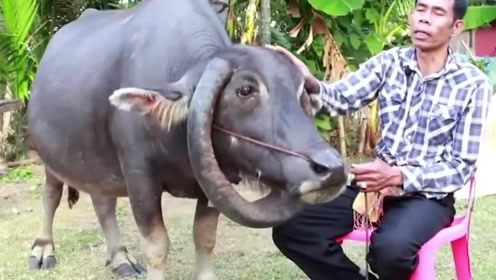 泰国这只牛火了,牛角竟然倒长成项圈,土豪出价5万收购
