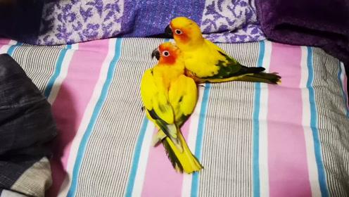 鹦鹉被男主人攻击,敦敦和花花强势反攻,花花有一颗不服软的心