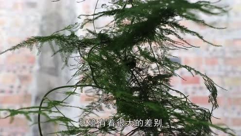 刚买回来的文竹不久就黄叶,用它浇一点快速恢复油绿