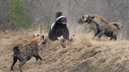 动物獾图片猪獾的图片