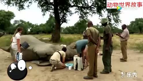 大象遭到偷猎者袭击 头部中弹 痛苦不堪 向人类寻求帮助!