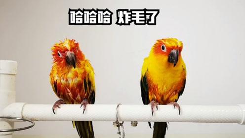 夏天果然是最适合多洗澡,鹦鹉们都要洗,这洗后的差别就有点大啊