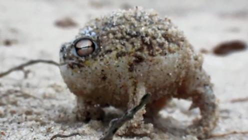 世界上最奇葩的青蛙,一不小心会气炸,网友:传说中的蛤蟆功?