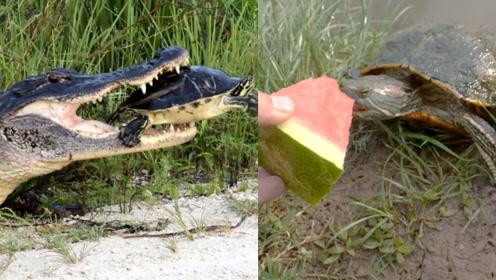 鳄鱼都咬不动乌龟的壳,真够硬,这和乌龟爱吃西瓜有关吗?
