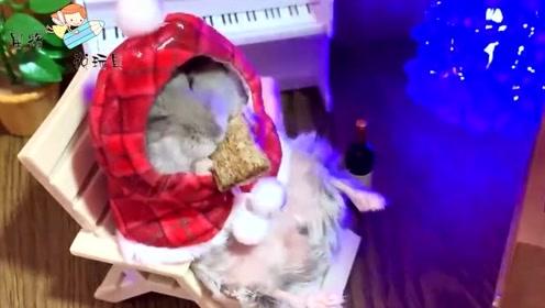 小仓鼠穿着华丽的衣服,在躺椅上吃零食!