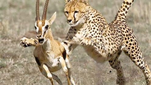 猎豹寻食偶遇小鹿,不料小鹿惨遭追捕,镜头记录精彩一幕!