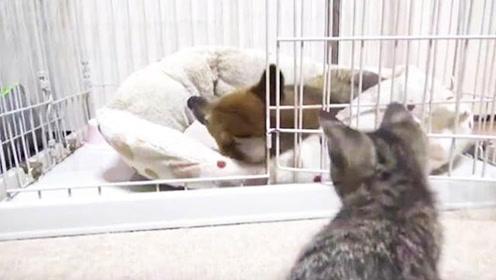 陪伴柴犬15年的猫咪去世,柴犬伤心难耐,主人开导狗狗网友点赞