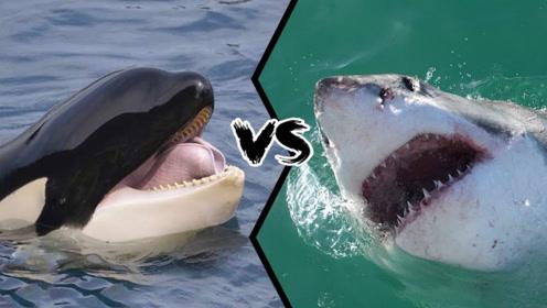 虎鲸VS巨型大白鲨,双方撕咬在了一起,网友:打的真激烈!