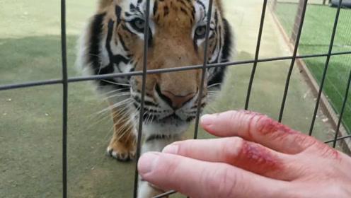 主人在手指涂血迹,测试老虎兽性,测试结果让人出乎意料!