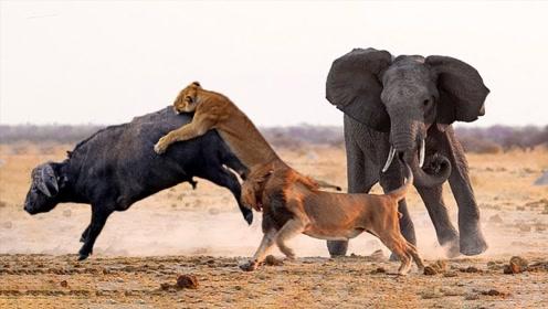 狮子捕食野牛正准备享用,不料意外发生,关键时刻大象赶来营救!