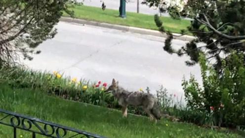 加拿大男子家后院住了9只狼 政府称管不了让自己处理