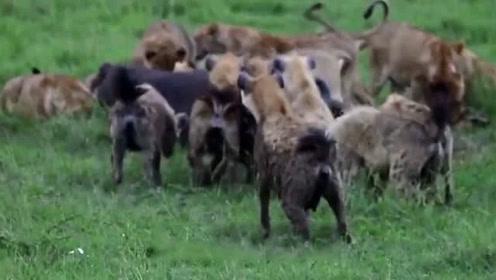 为何老虎不吃狼 狮子不吃鬣狗?看完才发现它们有多聪明
