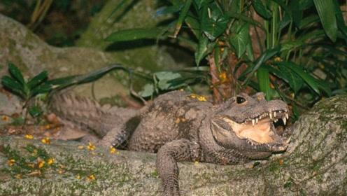 世界最小鳄鱼逃过濒危灭绝,原因竟是皮肤太差