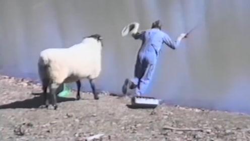 羊发脾气,一头撞飞正在钓鱼的路人,围观群众笑翻了!
