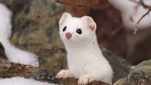 黄鼠狼被称作黄大仙,而且打不得杀不得,科学研究证明不能杀!