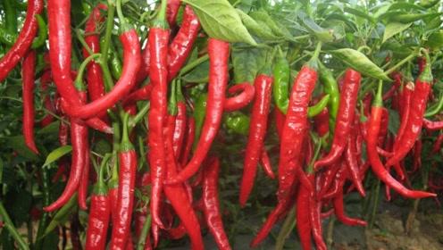 吃辣椒对身体有好处?这是真的吗?答案你意想不到!