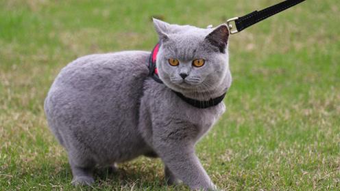 英短蓝猫在线科普,除了是个小胖纸,还有这些特征