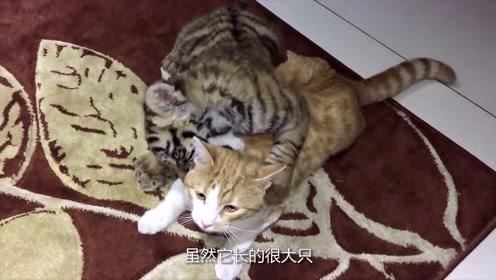小老虎以为橘猫是自己兄弟,一下就扑了上去,橘猫:你认错猫了!
