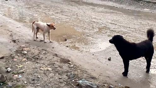 流浪狗打架也是这样 一只叫嚣的往往是比较弱势的一方