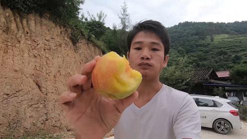 小志进山里摘黄桃,这里的黄桃太难摘了,不过这里的黄桃味道很好