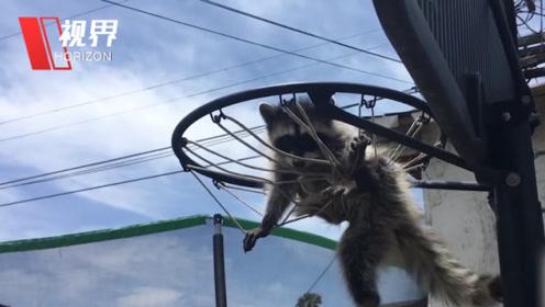 人类解救被篮筐缠住的小浣熊 浣熊妈妈全程守候表情担心