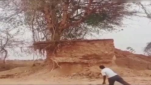 我丢了几块石头居然放倒一颗百年大树