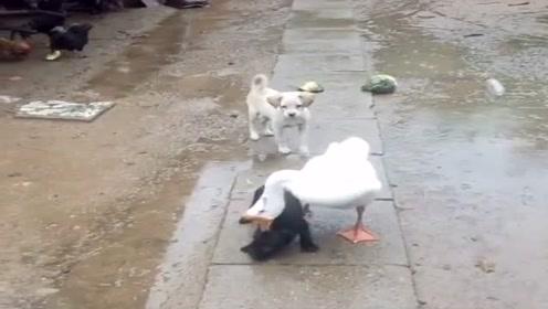 院里来了只会按摩的大鹅,天天缠着小黑小白,狗子们表示很无奈!