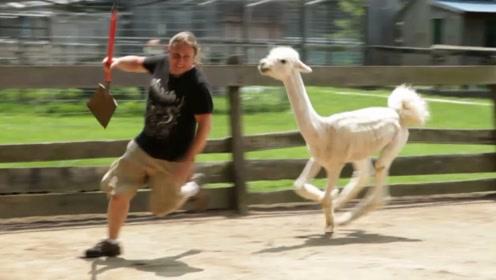 主人给羊驼剪了个丑造型,直接把羊驼惹急了,羊驼发怒太吓人!