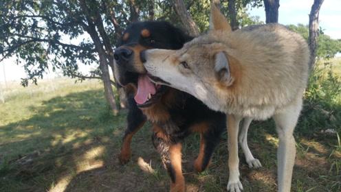 藏獒混入狼群1年成狼王,却总是护住第一口肉,先给老狼王
