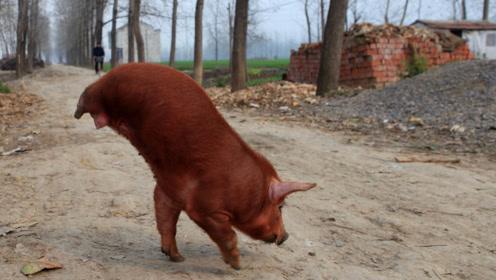 """11年前汶川大地震,庆幸活下来的""""猪坚强"""",现在过得怎么样?"""