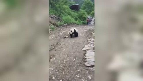 汶川野生大熊猫下山到农户家窜门,吃饱喝足后被送走