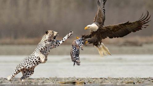 老鹰抓走小豹子,豹妈妈将其一掌拍下,镜头记录全过程!