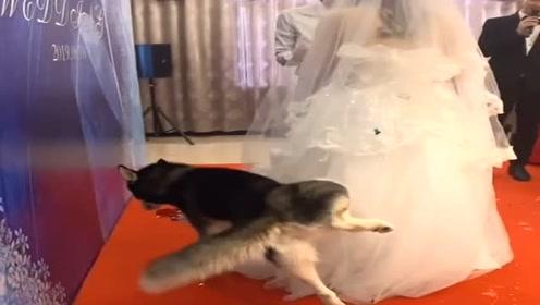 哈士奇仅用一招,就给了新娘一个终身难忘的婚礼,太牛了!
