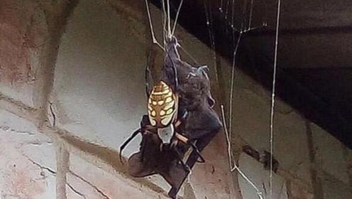 女子拍惊人一幕 巨型蜘蛛织1.8米网猎杀蝙蝠