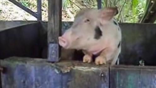 几百斤的大白猪,被主人灌了18度啤酒后,下一秒请憋住别笑!