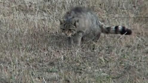 鼠目寸光!这么近了,老鼠竟然还没发现狸花猫?