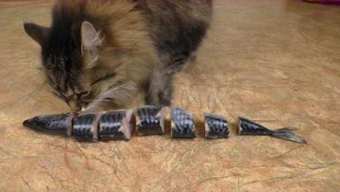 为什么猫吃鱼不怕鱼刺?舌头放大100倍后,恍然大悟