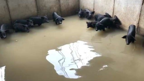 辽宁一猪舍580头猪被淹,养殖户:20多头猪崽被水泡死