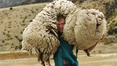 绵羊逃避剪毛出走,6年后身披55斤羊毛归来,却意外成选美冠军
