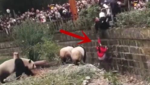 女孩不慎掉入熊猫窝,正当大家担忧时,3只熊猫的动作逗笑全场!