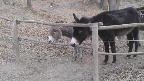 主人怕驴被偷,安装了摄像头,驴的举动让他意外