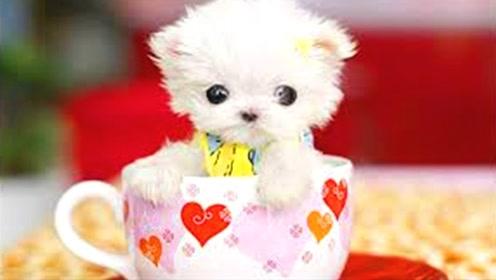 世界上最小的狗,一只茶杯就能装下,简直就是撩妹神器